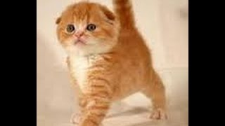 Играют котята шотландские вислоухие 2 недели / кошка скоттиш страйт и папа скоттиш фолд   их котята