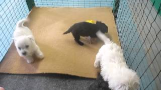 Westiepoo Puppies For Sale In Pa.