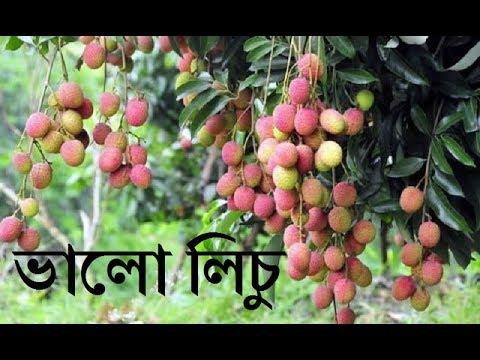 ভালো জাতের লিচু | আমাদের লিচু বাগান | Our Lychee Garden | Big Litchi in Bangladesh | China 3