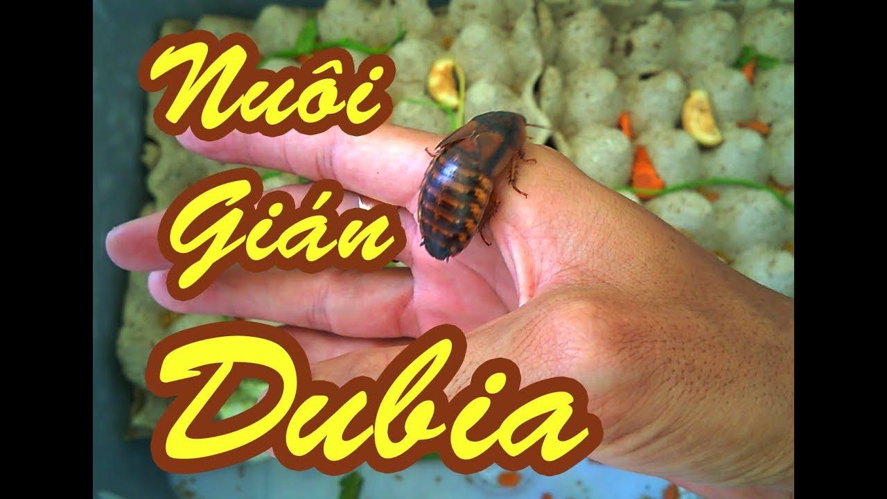 Nuôi gián Dubia – Dubia Roaches