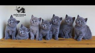 Котята британские / sale british kittens