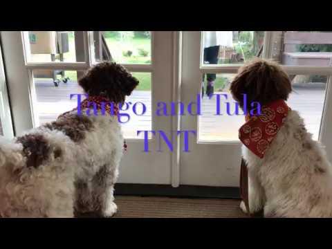 TNT (Tango and Tula) Lagotto Puppies