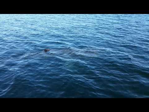 Shark off Cape Cod Massachusetts
