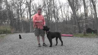 Giant Schnauzer Puppy Training | Bella