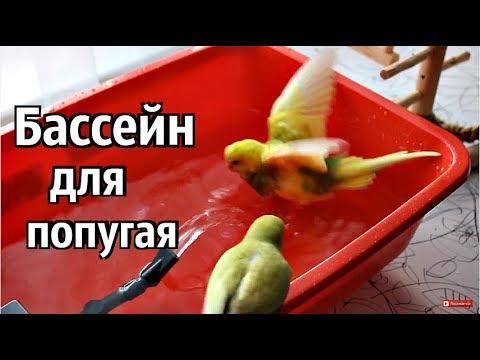 Как мыть попугая волнистого видео