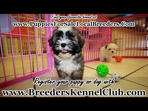 Havanese PUPPIES FOR SALE GEORGIA LOCAL BREEDERS