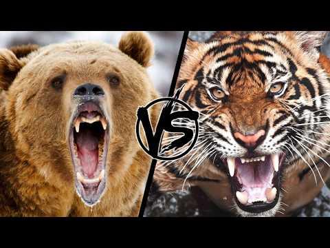 Медведь против тигра. Кто сильней и кто победит в реальном в бою?