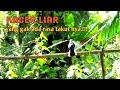 Mikat Kacer Gak Pakai Lama Langsung Dapat  Mp3 - Mp4 Download