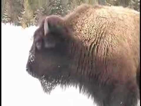 Buffalo stops snowmobile to cross road in Yellowstone