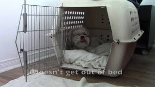 15 Year Old Lhasa Apso Dog Roxie Shows How Lazy She Is In Mornings