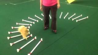 Pomeranian Paige Demonstrates Curved Cavaletti Exercise