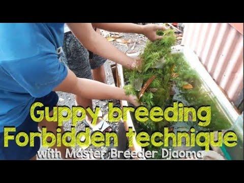Breeding Secret Guppy, Swordtail  | The Forbidden Technique By Master Djaoma Taglish Vlog