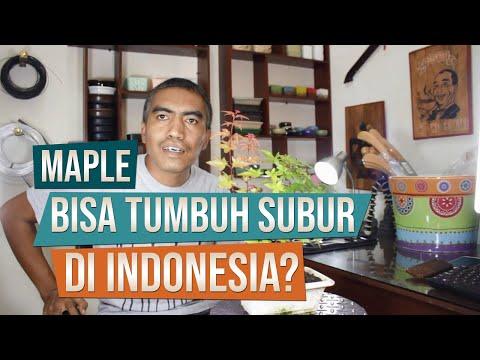 Maple Bisa Tumbuh Subur Di Indonesia?