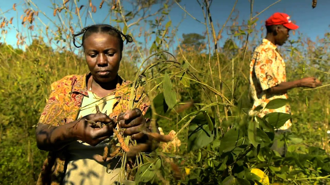Efforts in Haiti to Boost Rice Production Face Many ... |Haiti Farming
