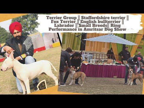 Staffordshire Terrier || Fox Terrier || English Bullterrier || Labrador || Small Breeds || Dog Show