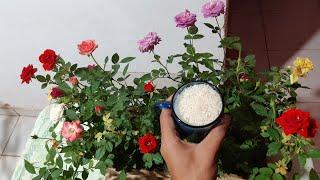 Dica de Como Fazer Suas Rosas Florescer