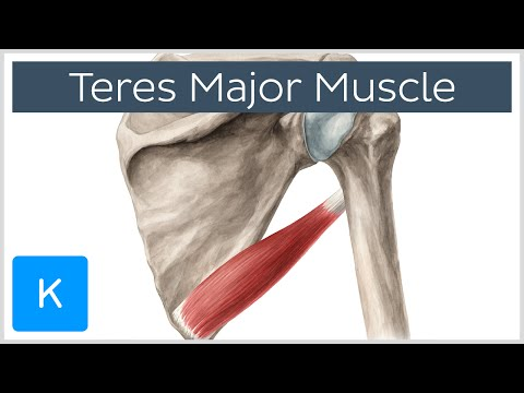 Teres Major Muscle - Origin, Insertion, Innervation & Action - Human Anatomy | Kenhub
