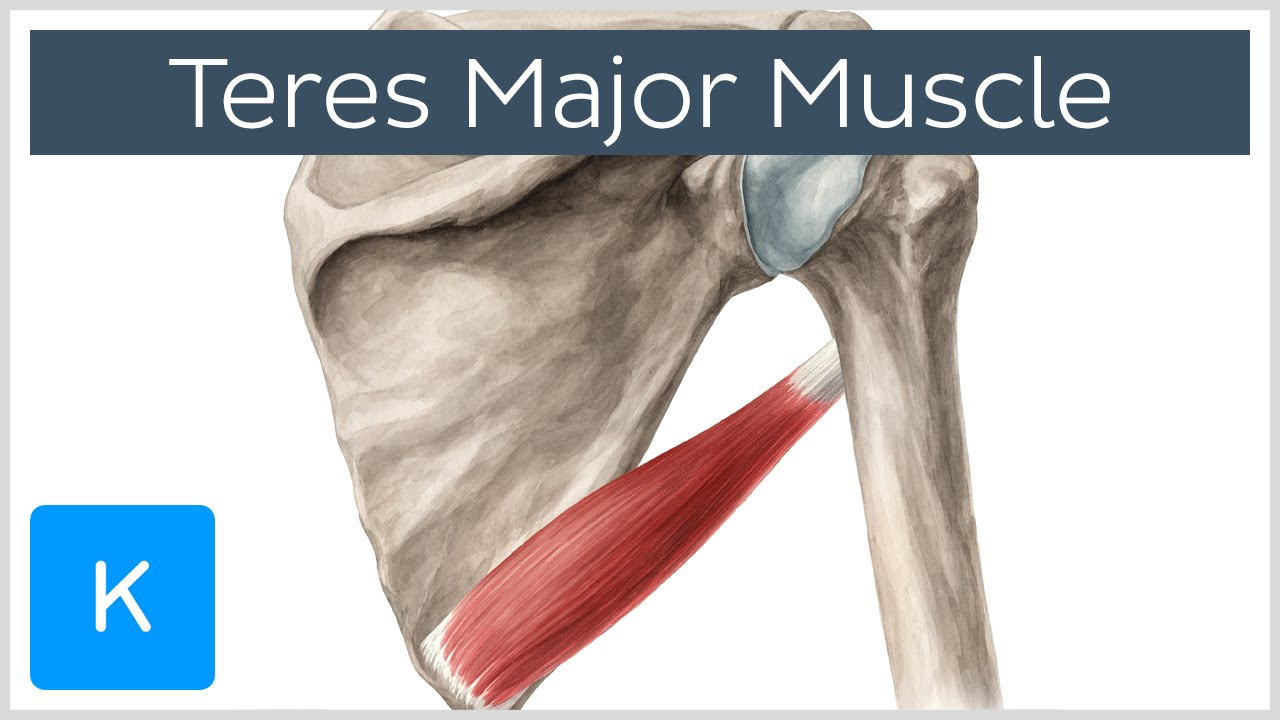 teres major muscle - origin, insertion, innervation & action, Human body