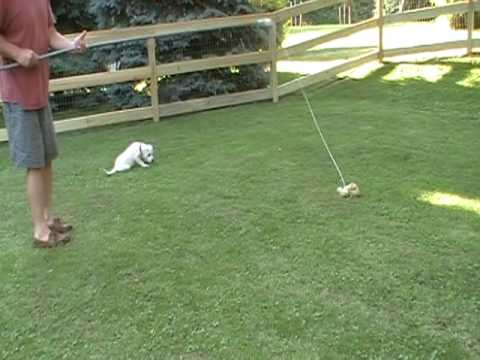 Lab puppy with flirt pole