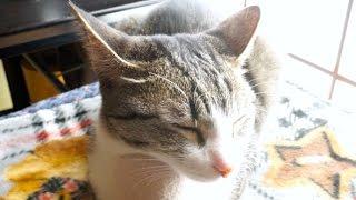 【原点回帰】イカ耳猫 - Cat with ears folded back -