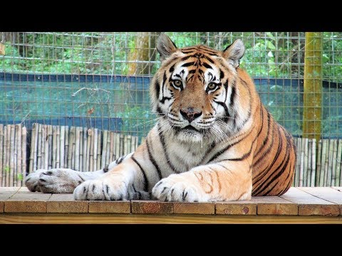 Sweet Pet Cougar from YouTube · Duration:  2 minutes 27 seconds