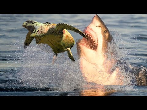 SEA TURTLE VS SHARK | Struggle For Survival