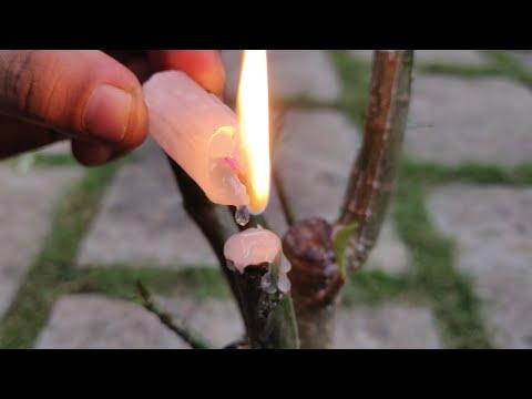 Adenium Pruning and