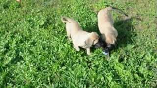 Puppies English Mastiff , Щенки английского мастифа 2
