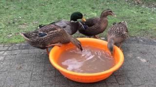 Kaczki Staropolskie, Polish breed of ducks