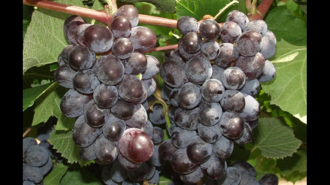Сорт винограда «Русбол улучшенный» и Кишмиш Юпитер» - YouTube