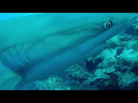 Diving with sharks - Cayman Islands