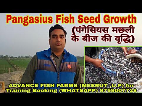 Pangasius Fish Seed Stocking Growth ( Sikandar Abbas )