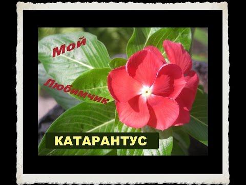 Катарантус: выращивание, уход, размножение