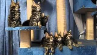 смешные поющие кошки мейн кун