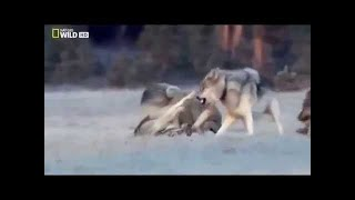 NatGEO - Black Wolf's Secret Life - BBC wildlife animal documentary 2018