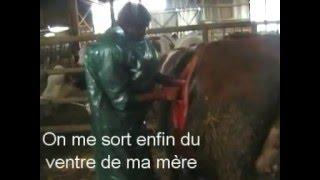 Césarienne d'une vache montbéliarde
