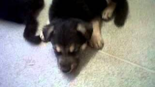 German Shepherd Puppies Sale 225