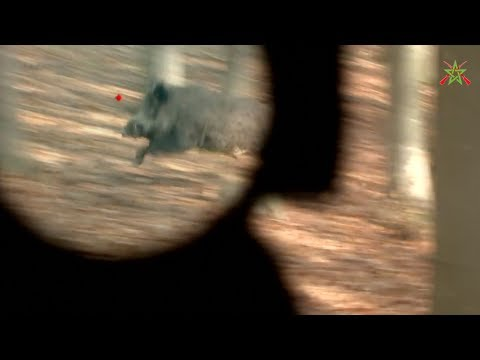 Best Wild Boar Hunting Moments - Aimpoint