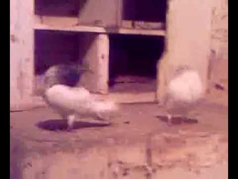 Download Pigeons mating....!!  (Pakistan) .mp4