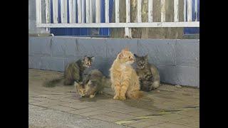 A family of cute Chinese Dragon Li Hua cats
