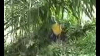 Download Video Video Amatir -  Dua Orang Siswa Mesum Dikebun Sawit MP3 3GP MP4