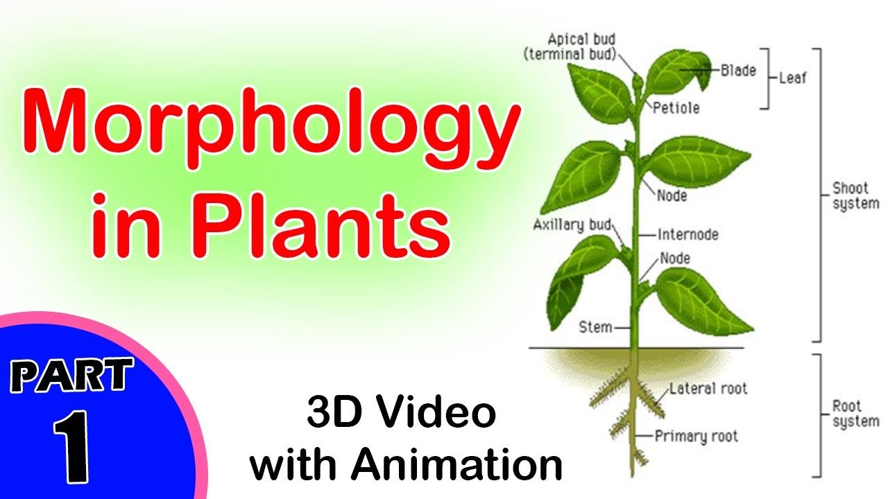 Morphology in Plants | Morphology in Biology | CBSE Biology Class XI ...