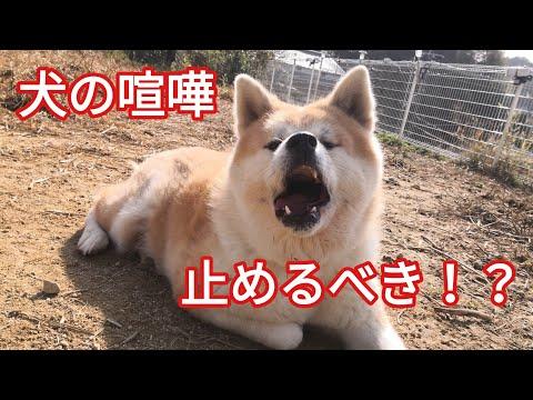 犬の喧嘩は止めるべき!? Dog Rescue