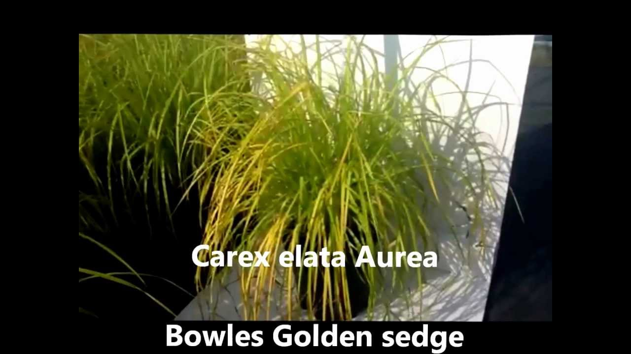 Best Perennials For Shade Carex Elata Aurea Bowles