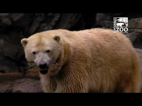Polar Bears get Live Fish for Enrichment - Cincinnati Zoo