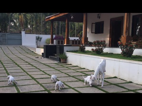 Watch.!! Mother dog Don't let her new puppies to go out | #IndianMudholHound