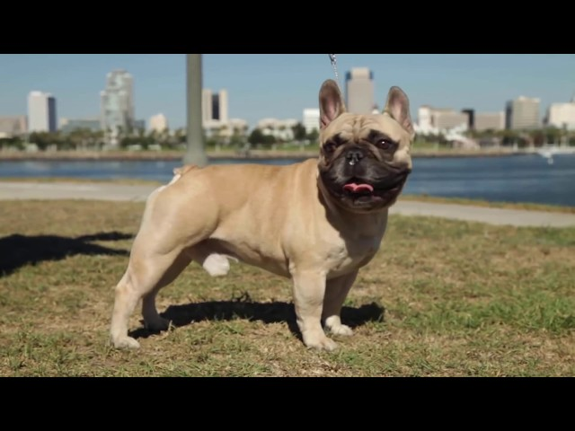 Top 10 Dog Breeds With Short Tails