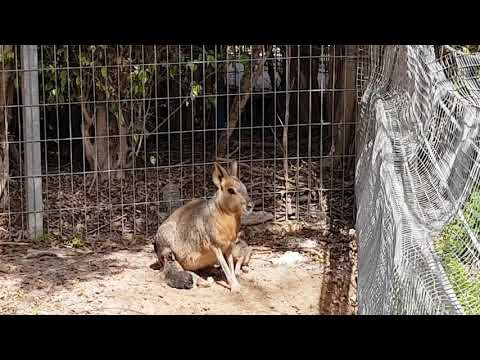 Patagonian mara with two babies