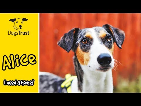 Alice is the Sweetest Little Lurcher Looking for a Forever Home! | Dogs Trust Shoreham