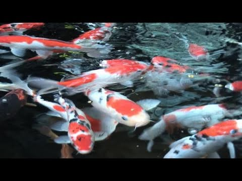 How to care for a goldfish doovi for Looking after koi